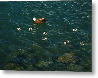 Swimming Lessons 2 Metal Print by Terry Perham