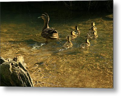 Swimming Lessons Metal Print by Terry Perham