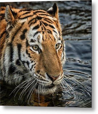 Swimming Tiger Metal Print by Chris Boulton