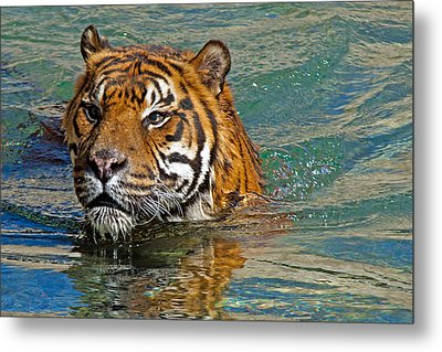 Swimming Tiger Metal Print
