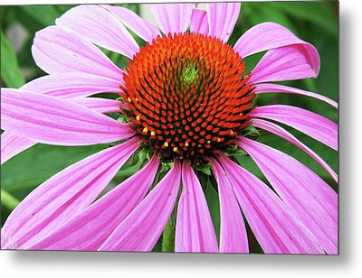 Swirling Purple Cone Flower 3576 H_2 Metal Print