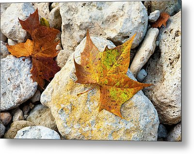 Sycamore Leaves On Creek Bed Stones. Metal Print by Mark Weaver