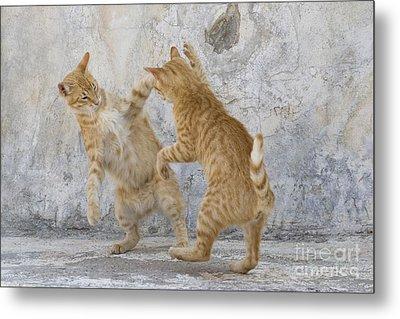 Tabby Cats Fighting Metal Print by Jean-Louis Klein & Marie-Luce Hubert