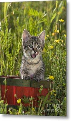 Tabby Kitten Metal Print