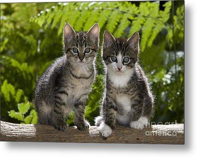 Tabby Kittens Metal Print