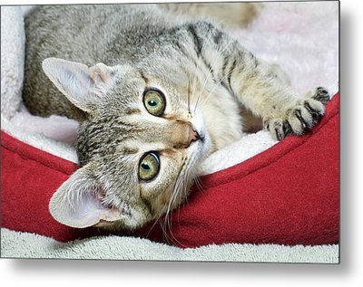 Tabby, Take Me Home Metal Print by Sheila Fitzgerald