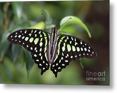 Tailed Jay Metal Print