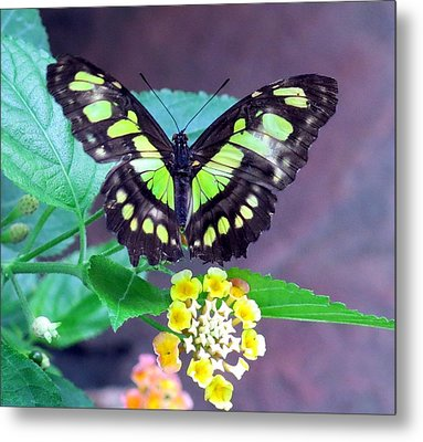 Tailed Jay Visits Lantana Metal Print by Betty Buller Whitehead