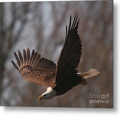 Taking Aim On Lunch Metal Print by Robert Pearson