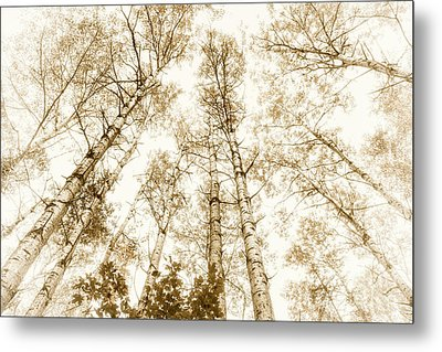 Metal Print featuring the photograph Tall Aspens by Elena Elisseeva