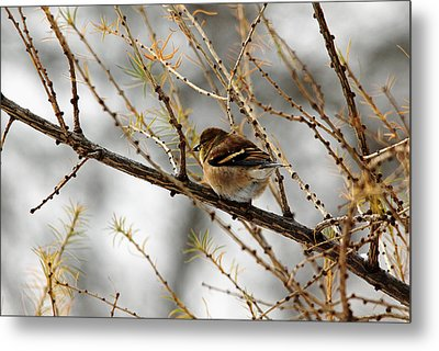 Tamarack Visitor Metal Print by Debbie Oppermann
