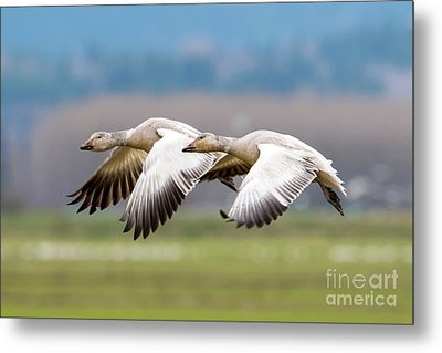 Metal Print featuring the photograph Tandem Glide by Mike Dawson