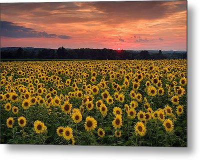 Taps Over Sunflowers Metal Print by Michael Blanchette