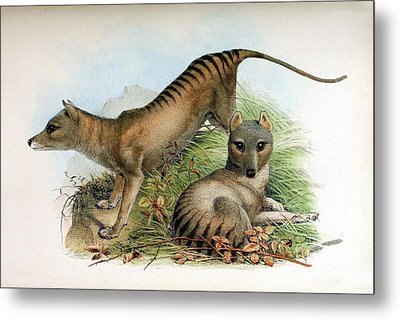 Tasmanian Tiger, Extinct Species Metal Print