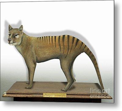 Tasmanian Tiger-thylacinus Cynocephalus-tasmanian Wolf-lobo De Tasmania-tasmanian Loup-beutelwolf    Metal Print