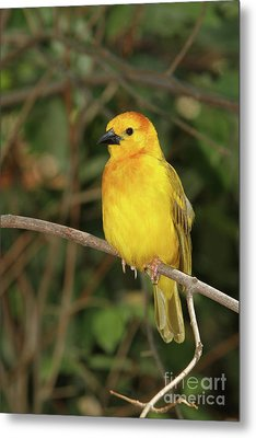 Taveta Golden Weaver #2 Metal Print