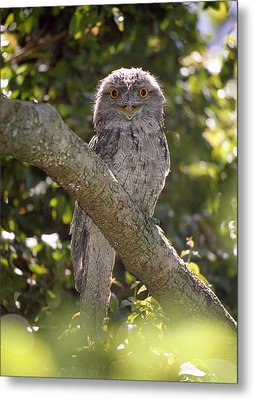 Tawny Frogmouth Metal Print by Barry Culling