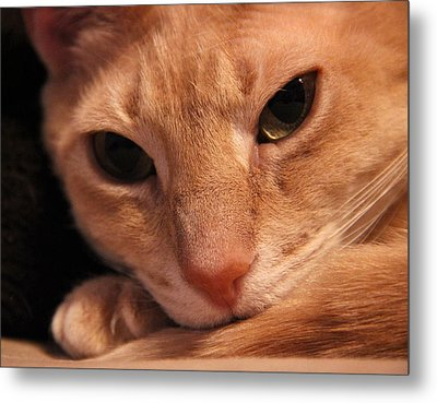 Taylor The Cat Metal Print by Brian Manfra
