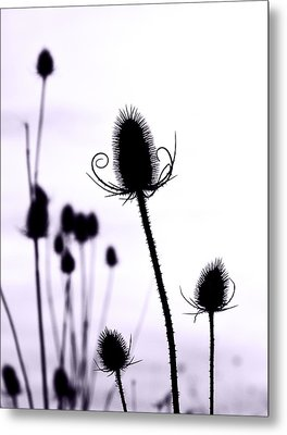 Teasels In A French Field  I Metal Print by Gareth Davies