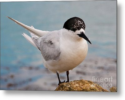 Metal Print featuring the photograph Tern 1 by Werner Padarin