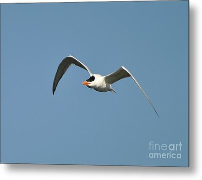 Tern Flight Metal Print by Al Powell Photography USA
