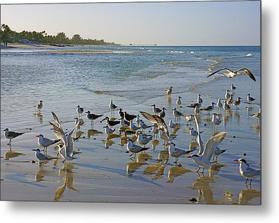 Terns And Seagulls On The Beach In Naples, Fl Metal Print by Robb Stan