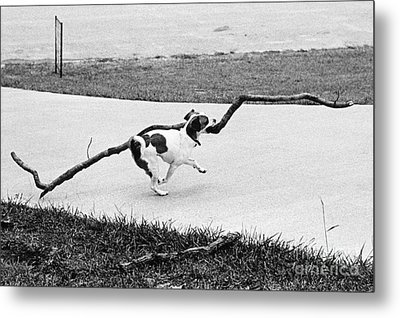 Terrier Running With A Very Big Stick Metal Print by Lynn Lennon