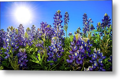 Texas Bluebonnets Backlit II Metal Print