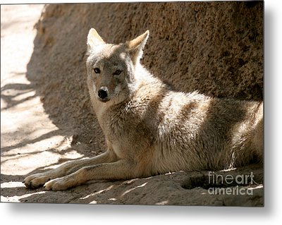 Texas Coyote Metal Print by Jeannie Burleson