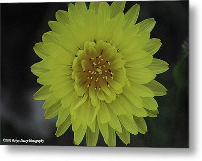 Texas Dandelion Metal Print by Robyn Stacey