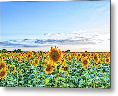 Texas Sunflowers Farm Metal Print by Tod and Cynthia Grubbs