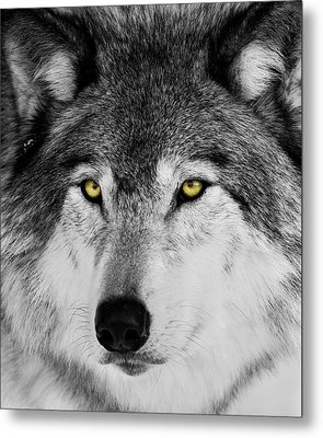 Metal Print featuring the photograph The Alpha Portrait by Mircea Costina Photography