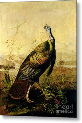 The American Wild Turkey Cock Metal Print by John James Audubon