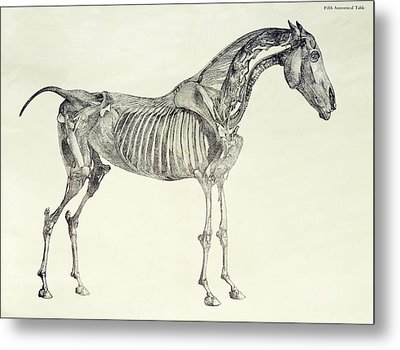 The Anatomy Of The Horse Metal Print