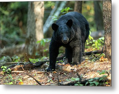 Metal Print featuring the photograph The Bear by Everet Regal