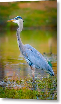 The Beauty Of A Great Blue Heron Metal Print by Parker Cunningham