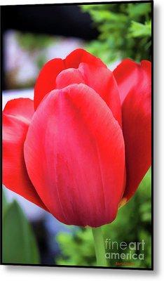 The Tulip Beauty Metal Print