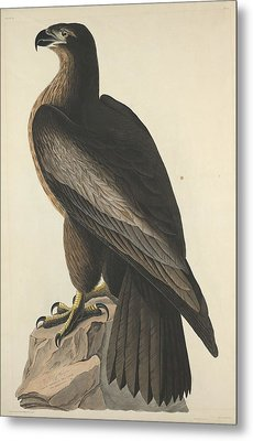 The Bird Of Washington Or Great American Eagle Metal Print by Rob Dreyer