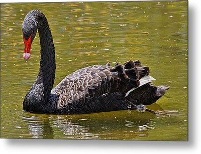 The Black Swan Metal Print by Lanis Rossi
