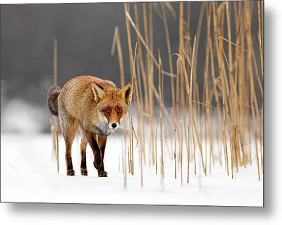 The Catcher In The Reed - Red Fox Walking On Ice Metal Print by Roeselien Raimond