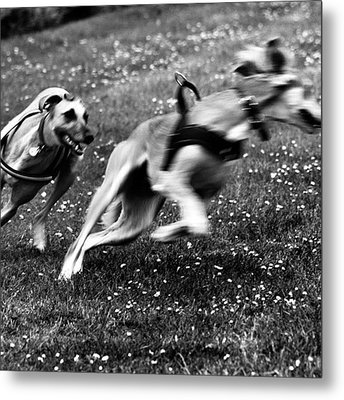 The Chasing Game. Ava Loves Being Metal Print