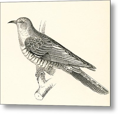 The Common Cuckoo, Cuculus Canorus Metal Print by Vintage Design Pics