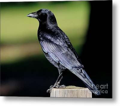 The Crow Metal Print by Wingsdomain Art and Photography