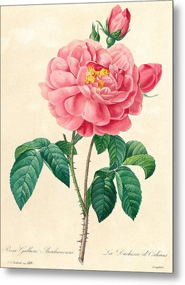 The Duchess Of Orleans Rose Metal Print