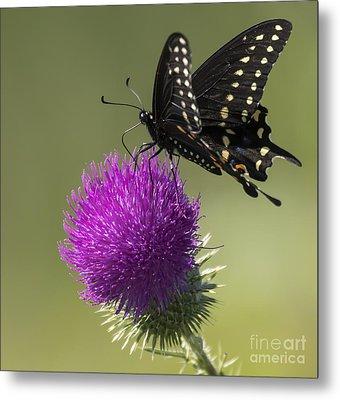 The Eastern Black Swallowtail  Metal Print