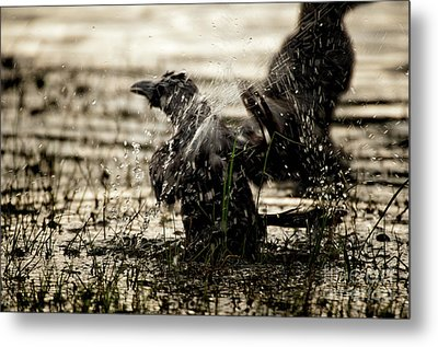 The Eastern Jungle Crow Corvus Macrorhynchos Levaillantii Metal Print by Venura Herath
