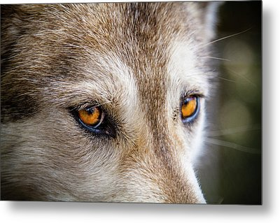 Metal Print featuring the photograph The Eyes Of A Great Grey Wolf by Teri Virbickis