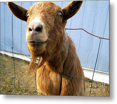 The Friendly Goat  Metal Print