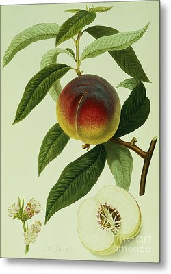 The Galande Peach Metal Print by William Hooker