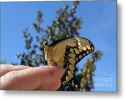 The Glorious Swallowtail  Metal Print